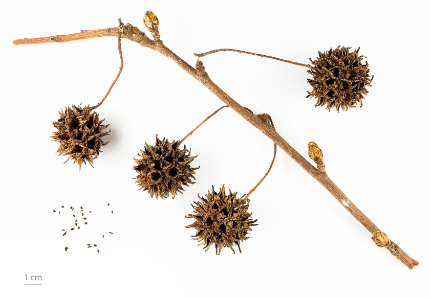 A thin branch with 4 seed pods attached. Each pod is a 2cm sphrere with dried woody spikes around the holes the seeds would have been in.